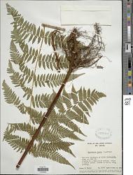 Hypolepis repens (L.) C. Presl