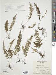 Trichomanes alatum Sw.