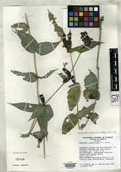 Justicia alopecuroidea T.F. Daniel