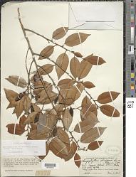 Chrysophyllum oliviforme subsp. oliviforme L.