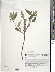 Cephalanthus glabratus (Spreng.) K. Schum.