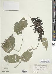 Pueraria pulcherrima (Koord.) Koord.-Schum.