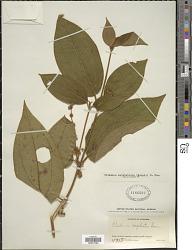 Clidemia capitellata (Bonpl.) D. Don