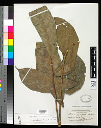 Ficus obscura var. borneensis (Miq.) Corner