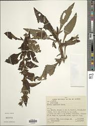 Stevia organensis Gardner