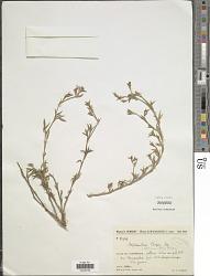 Stylosanthes fruticosa (Retz.) Alston