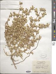 Alternanthera repens (L.) Kuntze