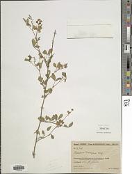 Crotalaria decaryana R. Vig.