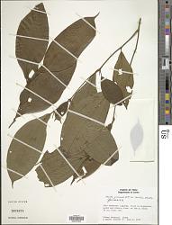 Maieta guianensis var. leticiana Whiffin