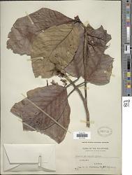 Neonauclea reticulata (Havil.) Merr.