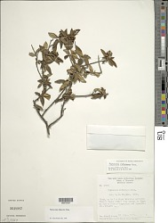 Piptocoma rufescens Cass.