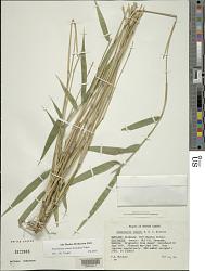 Pleioblastus simonii (Carrière) Nakai