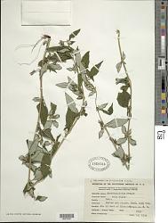 Spiracantha cornifolia Kunth