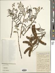 Mimosa pigra L.