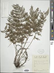 Vandenboschia maxima (Blume) Copel.