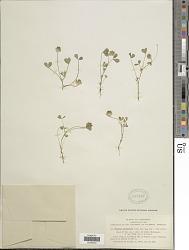 Trifolium cyathiferum Lindl.