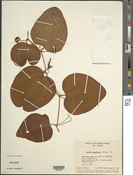 Smilax cumanensis Humb. & Bonpl. ex Willd.