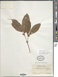 Alibertia sp. K. Schum.