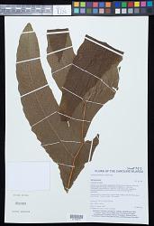 Tectaria grandifolia (C. Presl) Copel.