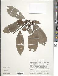 Psychotria riparia (K. Schum. & K. Krause) E.M.A. Petit