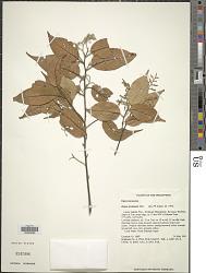 Hopea acuminata Merr.