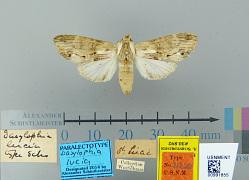 Dasylophia lucia