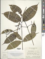 Faramea occidentalis (L.) A. Rich.