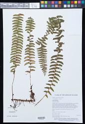 Lindsaea repens var. lingulata K.U. Kramer