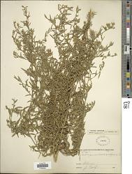 Symphyotrichum interior