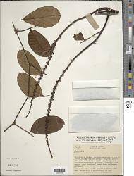Dioclea wilsonii Standl.