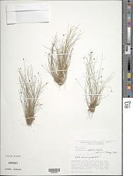 Eleocharis debilis Kunth