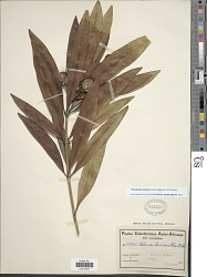 Breonadia salicinia (Vahl) Hepper & J.R.I. Wood