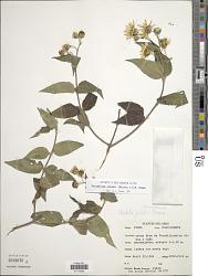 Perymenium jelskii (Hieron.) S.F. Blake