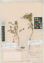 Coursetia brachyrhachis Harms