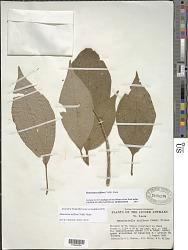 Henriettella triflora (Vahl) Alain