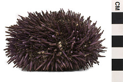 Purpled-spined Sea Urchin