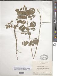 Achyranthes aspera var. aspera L.