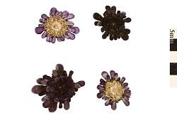Sea Urchin, Sea Urchin