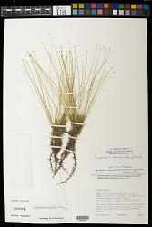 Paepalanthus flaccidus (Bong.) Kunth