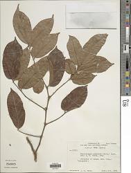 Diplotropis purpurea (Rich.) Amshoff