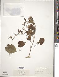Turbina corymbosa (L.) Raf.
