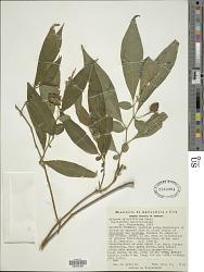 Lycianthes acutifolia (Ruiz & Pav.) Bitter