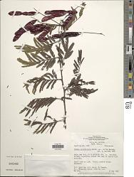 Mimosa acutistipula var. ferrea Barneby