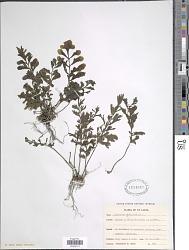 Asplenium obtusifolium L.