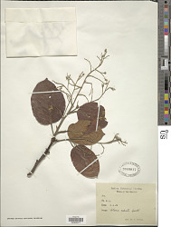 Shorea robusta