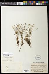 Paepalanthus fasciculatus (Rottb.) Kunth