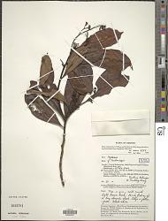 Tristania sp.