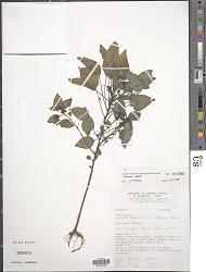 Laportea ruderalis (G. Forst.) W. L. Chew