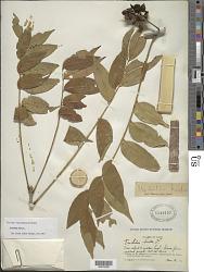 Trichilia hirta L.