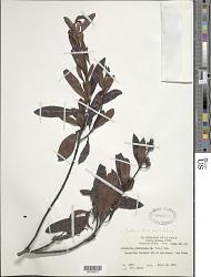 Suberanthus neriifolius (A. Rich.) Borhidi & Fernández